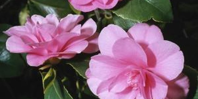 Camellias bloom in pink, red or white.