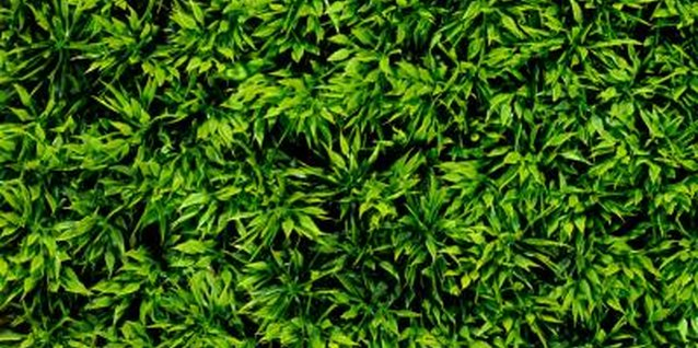 How to Trim a Podocarpus Gracilior Hedge