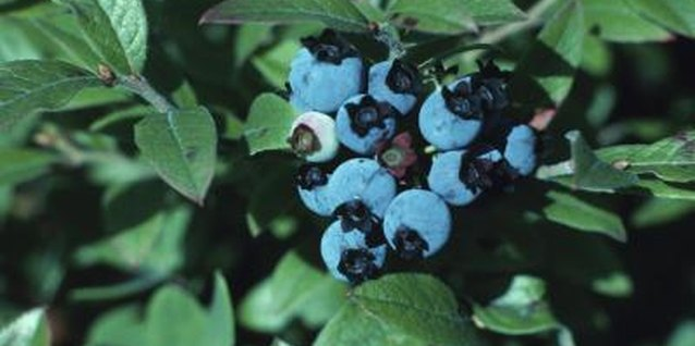 Many bushes display foliage that change colors, including blueberry bushes.