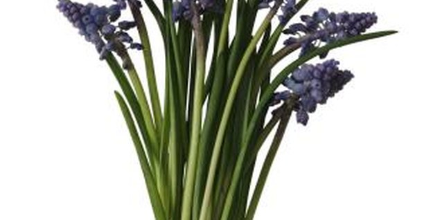 Grape hyacinths multiply quickly.
