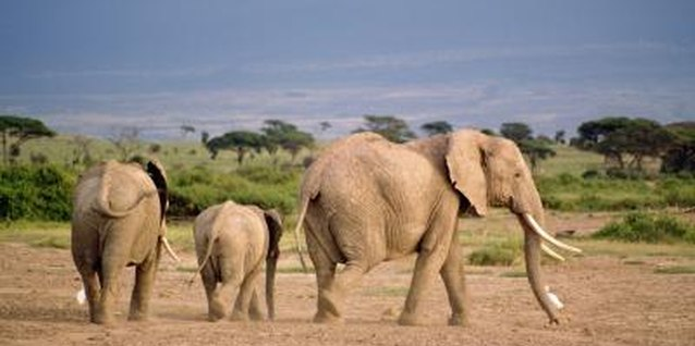 Endangered Plants & Animals of the African Savanna