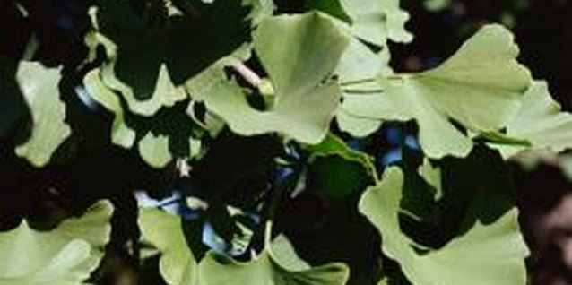 One species of ginkgo tree exists, and it is the sole member of the genus.