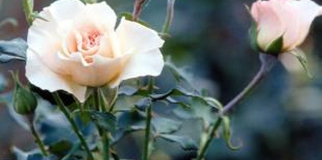 Roses require at least six hours of direct sunlight.