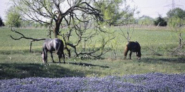 Bluebonnets paint vast stretches of Texas plains with hues of blue in spring.