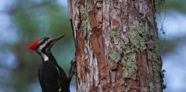 Halt woodpecker damage to your tree by hanging pans from its limbs.