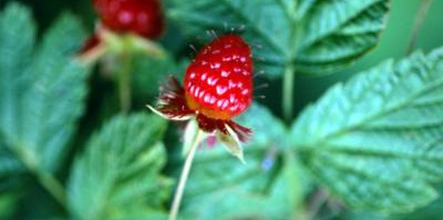 Raspberry Plants for Zone 9