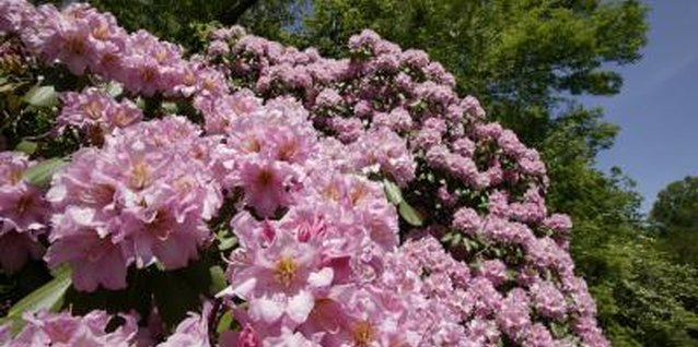 How to Prune an Overgrown Rhododendron Without Hurting It