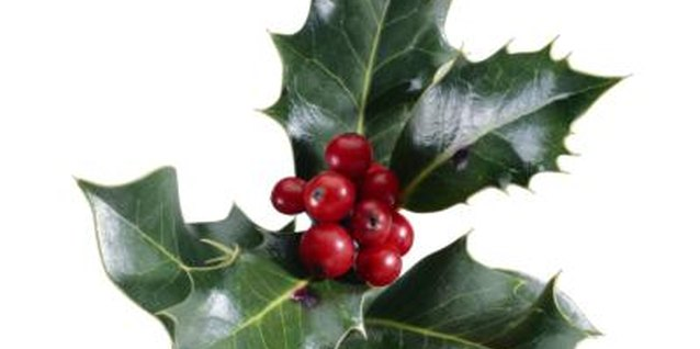 Types of Holly Leaves