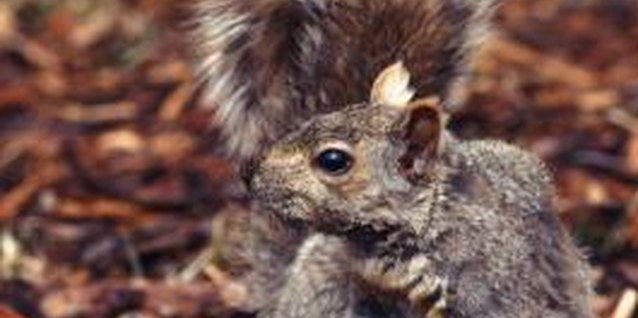 Squirrels will dig in fresh, old, brown, black or red mulch.