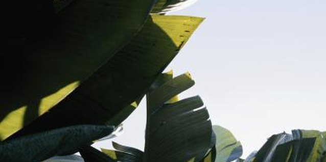 How to Trim a Non-Blooming Banana Tree