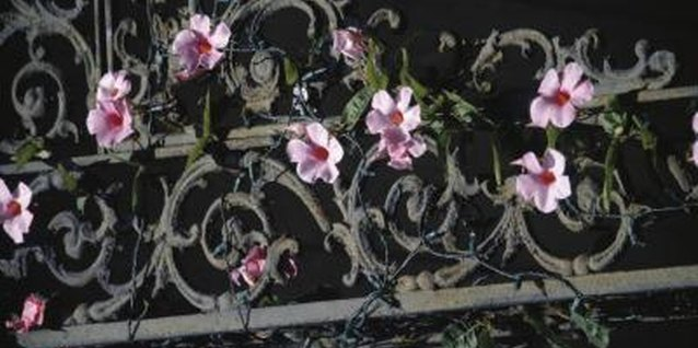 "Vining flower plants use wrought iron fences as a ""natural"" trellis."