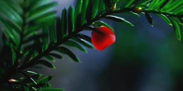 A yew provides year-round interest with its bright red berries and dense foliage.