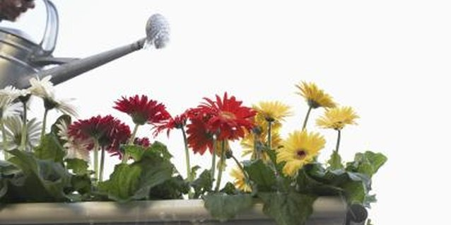 Gerbera daisies benefit from afternoon shade in hot climates.