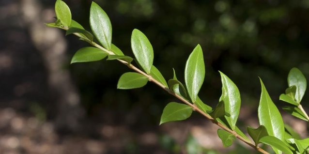 What Is a Myrtle Tree?