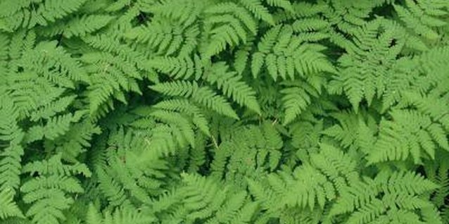 Examples of Ferns
