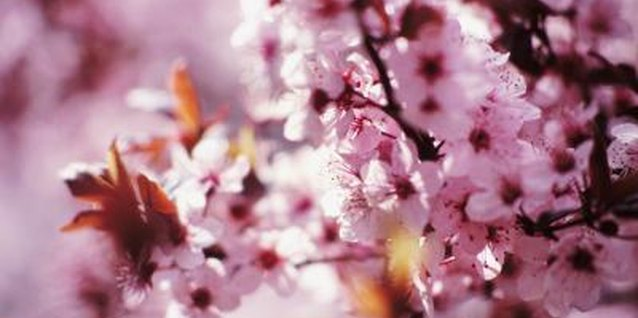 How to Paint Cherry Blossoms on the Wall