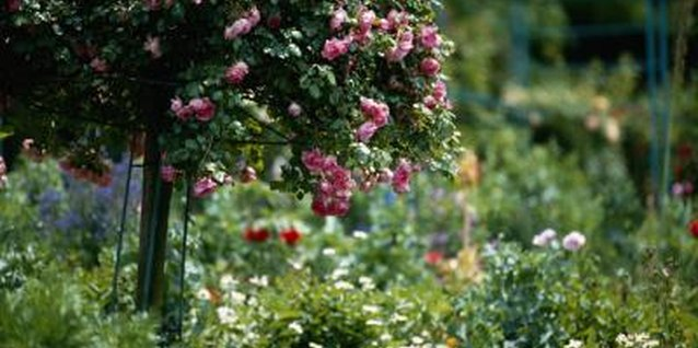 Roses are the shrubs most commonly seen as standards.