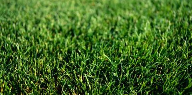 Overseeding your lawn with cool-season grass keeps it green in the winter.