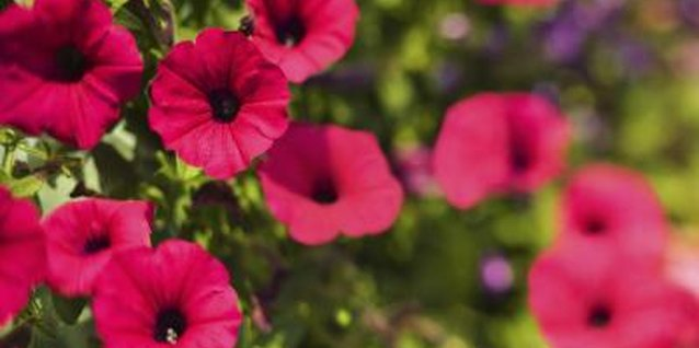 Healthy petunias produce plenty of bright flowers.