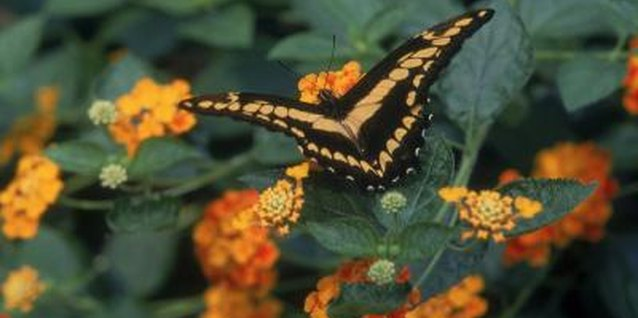 Butterflies love lantana, so expect to see them in your yard.
