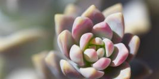 The rosette shape of an echeveria provides hiding places for aphids.