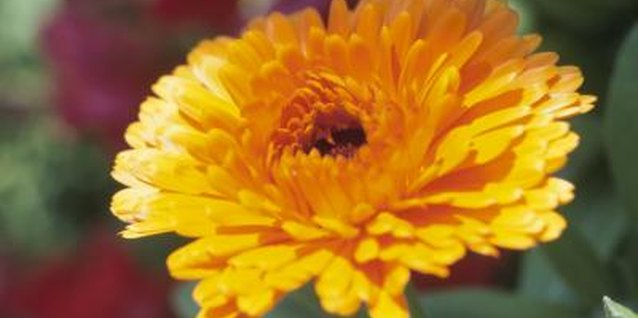 How to Transplant Garden Mums From Pots Into the Ground