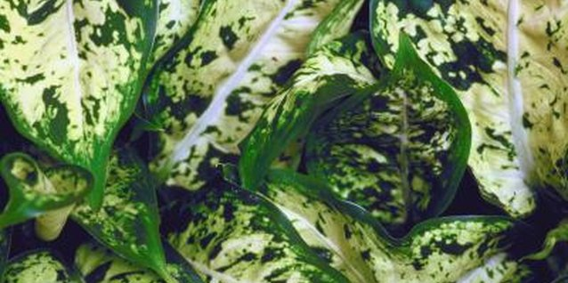The Varieties of Dieffenbachia