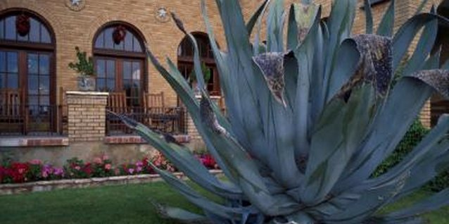 For safety, agaves need plenty of space around them.