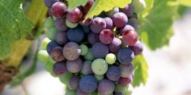 Grape vines are among the oldest cultivated plants.