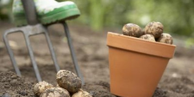 What to Dip Cut Seed Potatoes in Before Planting
