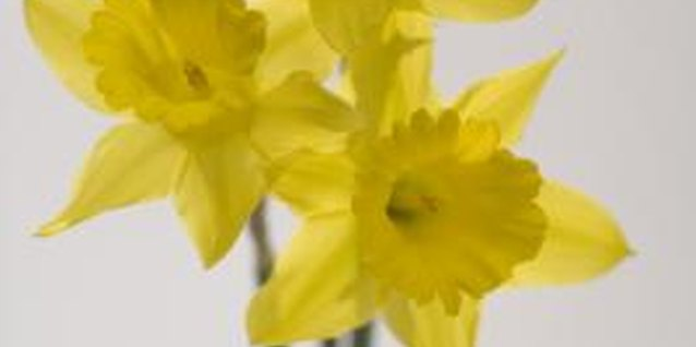 Bright yellow daffodils are easy to grow indoors.