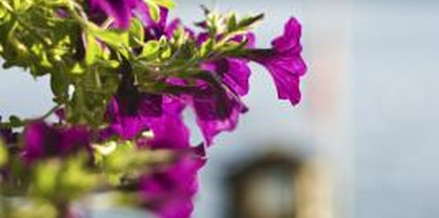 Growing petunias vertically creates more color in your space.