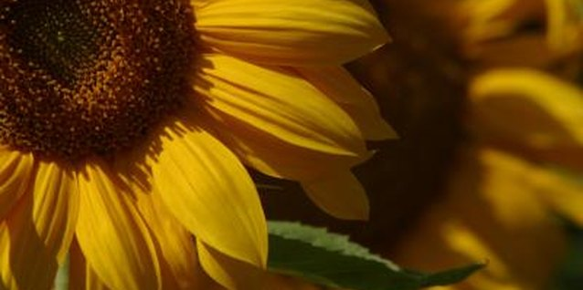 Healthy sunflowers can handle a caterpillar infestation better than unhealthy plants.