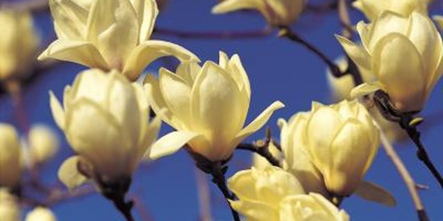 How to Prune Little Gem Magnolia Trees