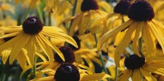 How to Landscape With Coneflowers