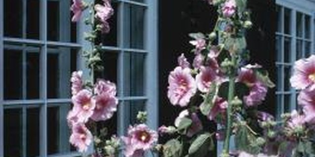 Start with the least-toxic sprays to rid your hollyhocks of insect pests.