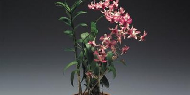 Spraying Orchids With Fertilizer Mixture