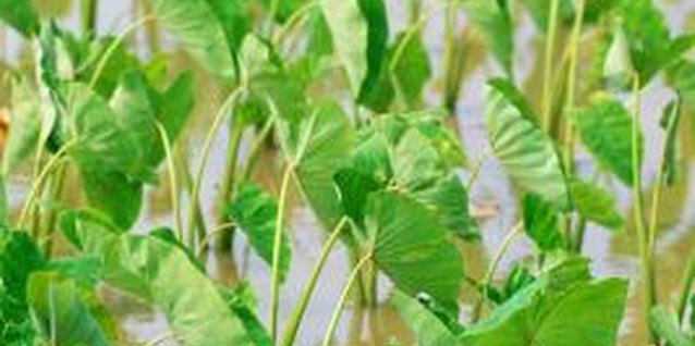 Taro grows well in moist, rich soil.