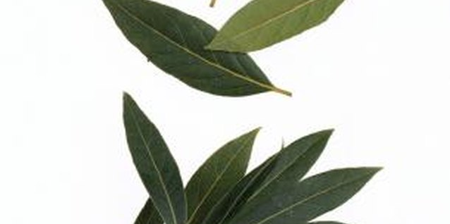 Bay laurel foliage remains a glossy, dark green year-round.