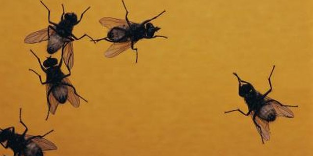 When flies hatch from eggs, they start out as maggots.