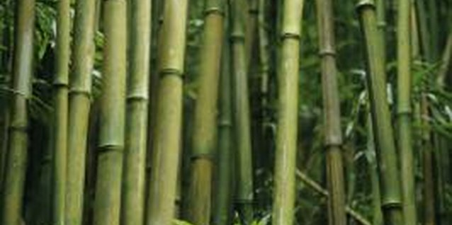 Bamboo is easy to grow, despite its tropical appearance.