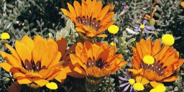 Gazanias are suitable plants for erosion control in dry areas.