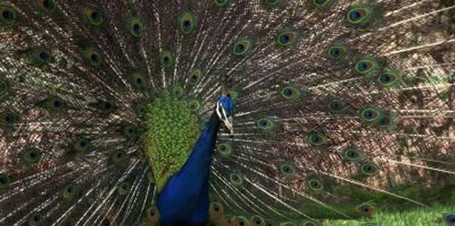 "A ""peacock"" is never a girl."