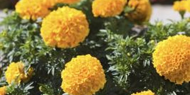 Trimming improves the health and appearance of marigolds.