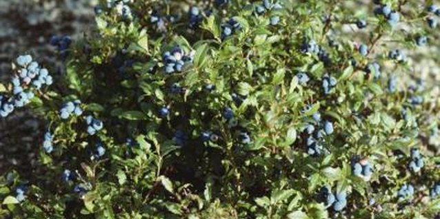 Blueberry bushes can be used as landscape shrubs or hedges.