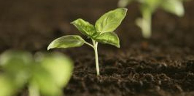 Direct planting outdoors puts young seedlings at the mercy of the weather.