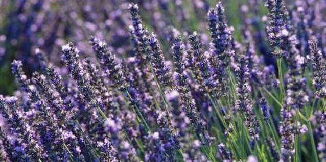 How Fast Does the Lavender 'Provence Blue' Grow?
