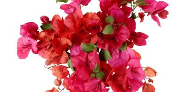 Don't baby your bougainvillea or it may never bloom.
