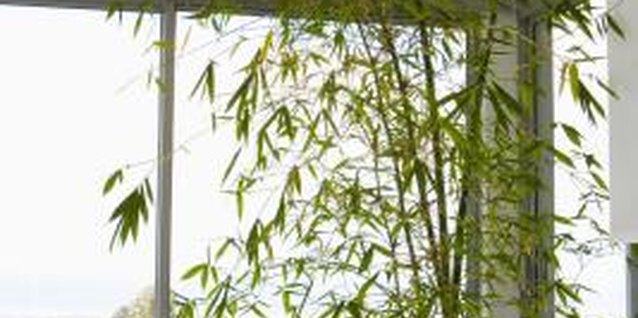 How to Fertilize Alphonse Karr Bamboo