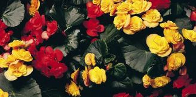 Begonias are prized by home gardeners for their showy flowers, which come in a range of colors.